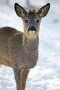 Roebuck Royalty Free Stock Photography