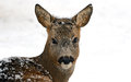 Roebuck Royalty Free Stock Photos