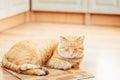 Rojo anaranjado pacífico tabby cat male kitten sleeping Fotos de archivo libres de regalías