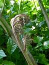 Rolling of Fern Fiddleheads in greenery garden Royalty Free Stock Photo