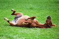 Rolling horse on the grass rolls frolic meadow Stock Photography
