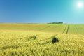 Rolling terrain with fields of wheat at sunny day Royalty Free Stock Photo