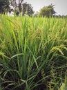 Rolnictwa rozsławiać Fotografia Stock