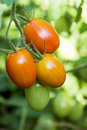 Roma tomatoes on the vine Royalty Free Stock Photo