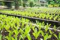 Romaine lettuce Royalty Free Stock Photo