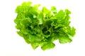 Romaine lettuce isolated Royalty Free Stock Photo