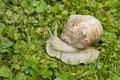 Roman, Burgundian or Edible Snail (Helix pomatia) Royalty Free Stock Photo