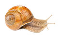 Roman (Edible) Snail Stock Photo