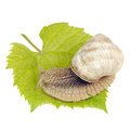 Roman Snail on Grape Leaf Isolated on White Background Royalty Free Stock Photo