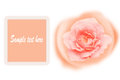 Romance orange rose card isolated on white background stock photo Stock Photography