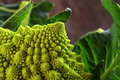 Romanesco broccoli or Roman cauliflower with leaves, close up sh Royalty Free Stock Photo