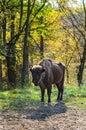 Romanian Buffalo In Autumn Light