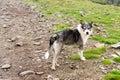 Romanian Carpathian Shepherd Dog Royalty Free Stock Photo
