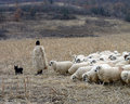 Romanian shepherd with his flock a dog and of sheep in the country of romania Royalty Free Stock Image