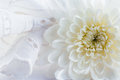 Romantic abstract background with colorful chrysanthemum and white lace suitable for wedding invitation card Stock Image