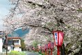 Romantic archway of flourishing cherry blossoms ( Sakura Namiki ) and traditional Japanese lamp posts along a country ro Royalty Free Stock Photo