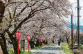Romantic archway of flourishing cherry blossoms sakura namiki and traditional japanese lamp posts along a country road in maniwa Royalty Free Stock Photo