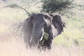 Romantic elephant the soft colors in this wildlife photography gives it a little look photographed in ndutu tanzania Royalty Free Stock Photo