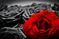 Romantic greeting card of red rose against black and white roses Royalty Free Stock Photo