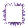 Romantic lavendula frame on white background Royalty Free Stock Photo