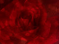 Romantic red rose with water drop on glass mirror plate for abst Royalty Free Stock Photo