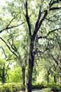 Romantic spanish moss beautiful in a tree in downtown savannah ga Royalty Free Stock Photography