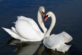 Romantic swan couple. Stock Images
