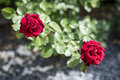 Romantic valentine love Detail closeup red roses in the garden Royalty Free Stock Photo