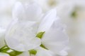 Romantic white jasmine flowers close up a of horizontal orientation Royalty Free Stock Photo
