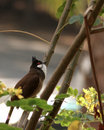 Rood-Whishkered Bulbul Royalty-vrije Stock Fotografie
