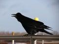Rook black crow or corvus frugilegus in a urban environment Royalty Free Stock Image
