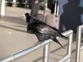 Rook black crow or corvus frugilegus in a urban environment Stock Images