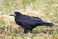 Rook (Corvus frugilegus) Royalty Free Stock Photography