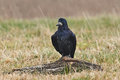 Rook (Corvus frugilegus) Royalty Free Stock Photo