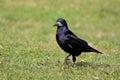 Rook (Corvus frugilegus). Royalty Free Stock Photo