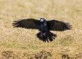 Rook - Corvus frugilegus Royalty Free Stock Photo