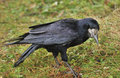 Rook, searching (Corvus frugilegus) Royalty Free Stock Photo