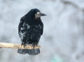 Rook In Winter Stock Photography