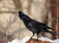 Rook in winter time corvus frugilegus Royalty Free Stock Photography