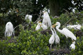 Rookery great egrets ardea alba nesting and feeding chicks in a heron Royalty Free Stock Photos