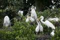 Rookery great egrets ardea alba nesting and feeding chicks in a heron Royalty Free Stock Photos