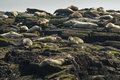 Rookery of Harbor Seals resting on a rocky shore