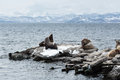 Rookery northern sea lion or steller sea lion avachinskaya bay petropavlovsk kamchatsky nature of kamchatka eumetopias jubatus Royalty Free Stock Images