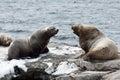 Rookery northern sea lion or steller sea lion kamchatka nature of eumetopias jubatus russia peninsula avachinskaya bay Royalty Free Stock Photo