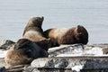 Rookery steller sea lion or northern sea lion kamchatka avacha bay nature of eumetopias jubatus russia peninsula Stock Image