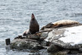 Rookery steller sea lion or northern sea lion kamchatka avachinskaya bay nature of eumetopias jubatus russia Stock Photography