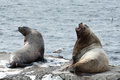 Rookery steller sea lion or northern sea lion on kamchatka nature of eumetopias jubatus russia peninsula avachinskaya bay Stock Images