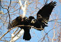 Rooks have ed to remove nestling by springtime on white birches Stock Image