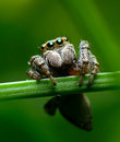 Roost jumping spider on a Royalty Free Stock Images