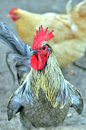 Rooster in an american farm Royalty Free Stock Photo